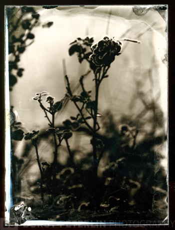 "Rose in morning frost. An ambrotype on black glass, format 5x7"". Taken with Voigtlander Heliar 300mm lens."